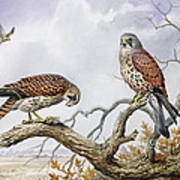 Pair Of Kestrels Art Print