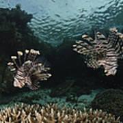 Pair Of Lionfish, Indonesia Art Print
