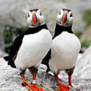 Pair Of Puffins Art Print by Betty Wiley