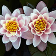 Pair Of Water Lilys Art Print