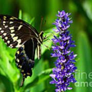 Palamedes Swallowtail Butterfly Art Print