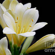 Pale Yellow Clivia Miniata Flowers Art Print