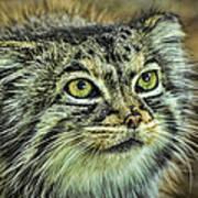 Pallas Cat Art Print