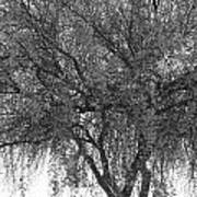 Palo Verde Tree 2 Art Print