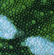 Panther Chameleon Chamaeleo Pardalis Art Print