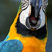 Parrot Squawking Art Print