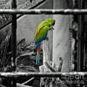 Parrott Thro The Cage Art Print