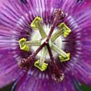 Passion Flower Close Up Art Print