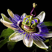 Passion Flower Art Print