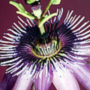 Passion Flower (passiflora Amethystina) Print by Lawrence Lawry