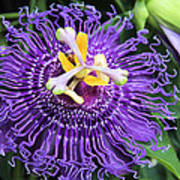 Passionflower Purple Art Print by Rosalie Scanlon