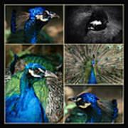 Pavo Cristatus IIi The Heart Of Solitude  - Indian Blue Peacock  Art Print
