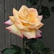 Peace Rose Art Print