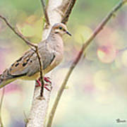 Peaceful Mourning Dove Art Print