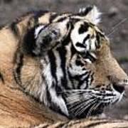 Peaceful Tiger Art Print