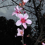 Peach Blooms Art Print