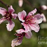 Peach Blossom Clusters Art Print