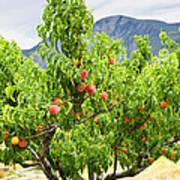 Peaches On Tree Print by Elena Elisseeva