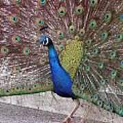 Peacock - 0013 Art Print
