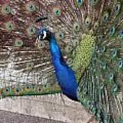 Peacock - 0014 Art Print