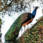 Peacock Calling Art Print
