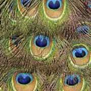 Peacock Feather Eyes Art Print