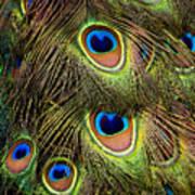 Peacock Feathers Art Print