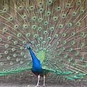 Peacock Finery On Display Art Print