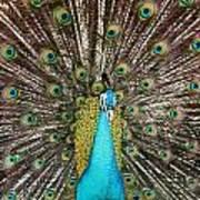 Peacock Plumage Feathers Art Print