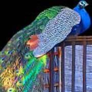 Peacock Poses Art Print