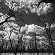 Pecan Trees Art Print