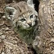Peeking Out - Bobcat Kitten Art Print