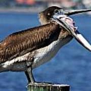Pelican I Art Print