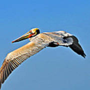 Pelican In Flight Art Print
