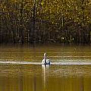 Pelican On Golden Pond Art Print