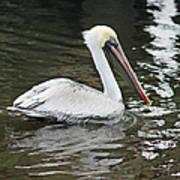 Pelican Solo Art Print