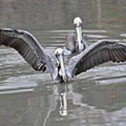 Pelican Span Art Print