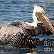 Pelican Take Off Art Print