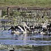 Pelicans At Knuckey Lagoon Art Print