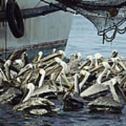 Pelicans Float In Water Near A Shrimp Art Print