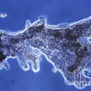 Pelomyxa Carolinensis Lm Print by Eric V. Grave