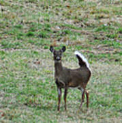 Pennsylvania White Tail Deer Art Print