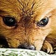 Pensive Pomeranian Art Print