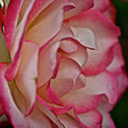 Peppermint Rose Art Print