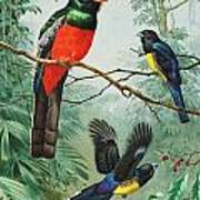 Perched And Flying Trogons Are Seen Art Print