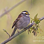 Perched White-throated Sparrow Art Print by Chris Hill