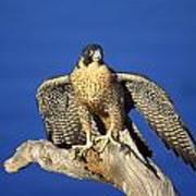 Peregrine Falcon On Perch Art Print