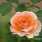 Perfect Peach Petals Art Print