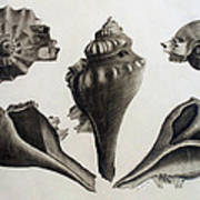 Perspectives Of A Shell Art Print
