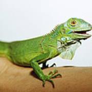 Pet Iguana Art Print